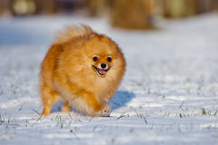 Happy pomeranian spitz dog running on snow Stock Image