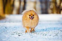 Happy pomeranian spitz dog running on snow Royalty Free Stock Photography