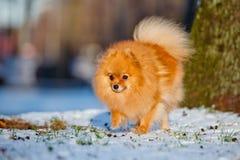 Happy pomeranian spitz dog running on snow Royalty Free Stock Photo