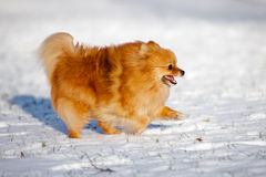 Happy pomeranian spitz dog running on snow Stock Images