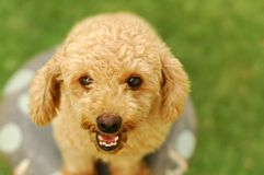 A happy poodle royalty free stock image