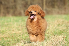 Happy poodle puppy at outdoor Royalty Free Stock Image