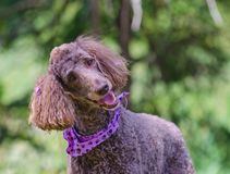 Happy Poodle with purple hair bows and neck scarf. Happy brown standard poodle with purple ear ribbons and purple neck bandanna stock photos
