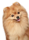 Happy portrait of a spitz-dog. Happy portrait of a dog on a white background stock photography