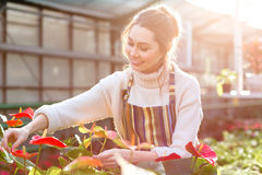 Happy pretty young woman gardener taking care of anthuriums Royalty Free Stock Photo
