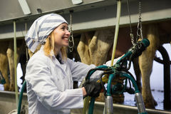 Professional dairymaid working with milking machines in cows bar. Happy Professional dairymaid working with milking machines in cows barn Stock Photography