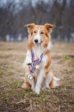 Happy proud dog has many medals Royalty Free Stock Photos
