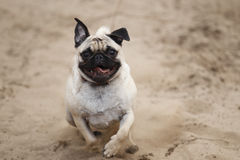 Happy Pug Royalty Free Stock Photography