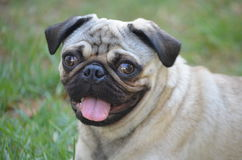 Happy pug. Close up face of fawn colour pug male stock image