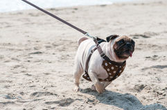 A happy pug dog racing through the sand and looking to the camera. Stock Image