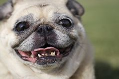 Happy Pug Fawn Color royalty free stock photo