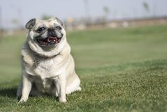 Happy Pug Fawn Color royalty free stock images