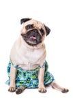 Happy Pug. Isolated on white background royalty free stock image