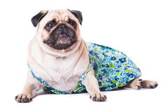 Happy Pug Royalty Free Stock Photography