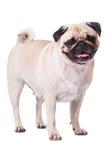 Happy Pug. Isolated on white background stock photo