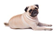 Happy Pug. Isolated on white background stock images