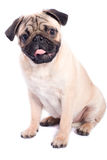 Happy pug isolated on white background. Studio shot of a happy pug isolated on white background Royalty Free Stock Images