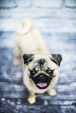 Happy pug puppy dog Stock Photo