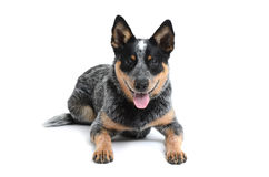 Happy Puppy royalty free stock image