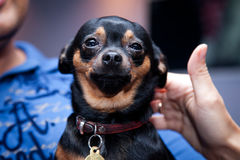 Happy puppy, dog. Small chihuahua dog sitting in man`s hands Royalty Free Stock Image