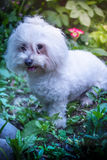 Happy Puppy. Happy dog in the garden. Bichon Havenese Stock Images