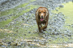 Happy puppy dog running to you Stock Image