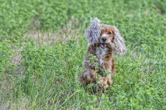Happy puppy dog running to you. Puppy dog cocker spaniel running to you Stock Photography