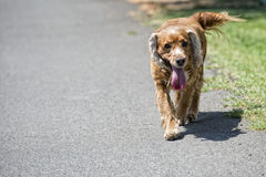 Happy puppy dog running to you stock photography