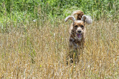 Happy puppy dog running to you Royalty Free Stock Image