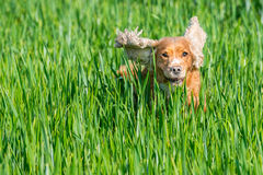 Happy puppy dog running to you. Puppy dog cocker spaniel running to you Royalty Free Stock Images