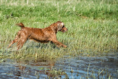 Happy puppy dog running to you. Puppy dog cocker spaniel running to you Stock Images