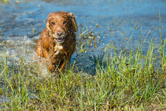 Happy puppy dog running to you. Puppy dog cocker spaniel running to you Royalty Free Stock Photography