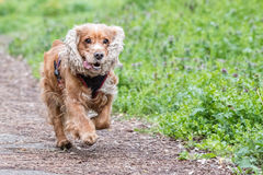 Happy puppy dog running to you. Puppy dog cocker spaniel running to you Royalty Free Stock Image