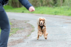 Happy puppy dog running to you Royalty Free Stock Photography