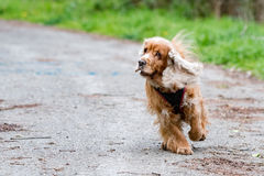 Happy puppy dog running to you. Puppy dog cocker spaniel running to you Stock Photo
