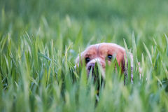 Happy puppy dog running to you Stock Images