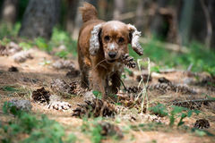 Happy puppy dog running to you on the forest background. Puppy dog cocker spaniel while holding a pine cone Royalty Free Stock Image