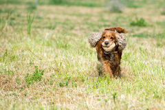 Happy puppy dog running to you on river water background. Puppy dog cocker spaniel running to you while holding a stone Royalty Free Stock Images
