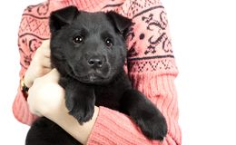 Happy puppy of a German shepherd in the arms of a girl in a swea Royalty Free Stock Photography
