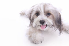 Happy puppy laying down Stock Photography