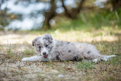 Sweet little gray puppy smiles at you  Royalty Free Stock Photography