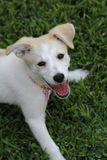Happy Puppy. A Happy puppy on a lush green yard Royalty Free Stock Images