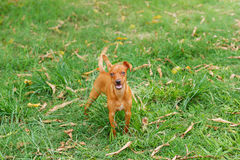 Happy puppy of Miniature Pinscher playing on green grass in yard with moving tail Royalty Free Stock Photography