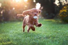 Happy puppy playing with ball. In sunset light royalty free stock photography