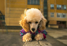 Happy Puppy poodle in winter clothes, watches lying. On a wooden beam Royalty Free Stock Photos