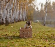 A happy puppy pug jumping out of a wooden box stock images