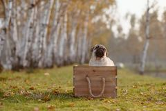 A happy puppy pug sitting in a wooden box royalty free stock photography