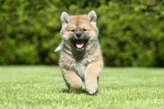 Happy puppy running Royalty Free Stock Photography