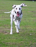 Happy puppy running. Happy Dalmatian puppy running across the grass royalty free stock photos