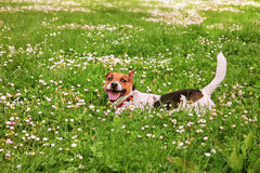 A happy puppy Stock Photography